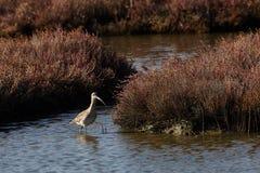 View of numenius arquata in Evros river, Greece. Royalty Free Stock Image