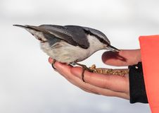 Nuthatch Eating From a Human Hand. View of Nuthatch Eating From a Human Hand Stock Photography