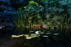 View of a Nymphaea alba (known as the European white water rose) Stock Photo