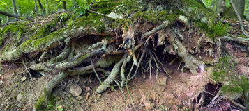Oak tree roots Royalty Free Stock Photos