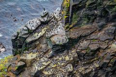 View Of A Colony Of Common Guillemot Or Common Murre Birds On The Rocks Stock Photos