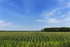 Free View Of A Cornfield In A Rural Area Of The Mississippi State Royalty Free Stock Image - 129509436