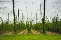 View Of Hops Field Stock Photography
