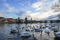 Free View Of The Charles Bridge In The Czech Republic In Prague On The Vltava River, In The Foreground Swans Wintering In This Place Stock Photo - 167970400