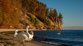 Free View Of The Cliff In Gdynia With Beautiful Swans, Poland. Royalty Free Stock Images - 129944759