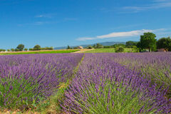 View Of The Landscape With Lavender Field Stock Photos