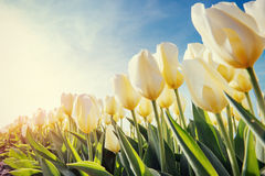 Free View Of Yellow Tulip Rows In Summer Time Royalty Free Stock Photos - 61718158