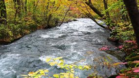 View of Oirase Mountain Stream flow rapidly through the colorful foliage of autumn forest