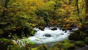 View of Oirase Mountain Stream flows passing under the brilliant colorful foliage in the forest in autumn season.