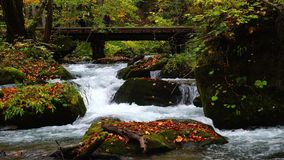 View of the Oirase River flow passing rocks covered with green moss and colorful falling leaves of autumn season