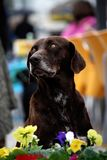 Dog looking up. View of an old dog looking up with flowers below Stock Photography