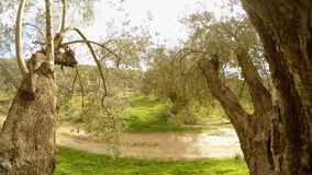 View from the old olive trees on the dirt road and the winter garden on the warm island. Ancient Olive Trees, a collection of landscapes in an old olive garden stock footage
