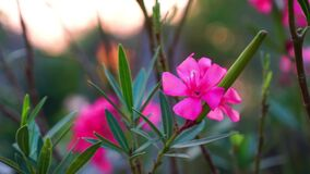 View of  Oleander Flowers and the black ant