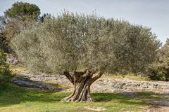 Olive tree near the Bridge of Gard - Vers-Pont-du-Gard - Gard - Occitania. View of an olive tree near the Bridge of Gard - Vers-Pont-du-Gard - Gard - Occitania stock images