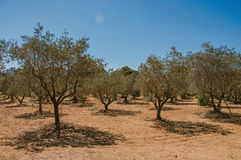 View of olive tree plantation under the sunny and warm sky of Provence near Lourmarin. View of olive tree plantation under the sunny and warm sky of Provence Royalty Free Stock Photos