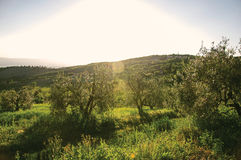 View of olive trees near green hills with sunshine in the Tuscan countryside. stock photos