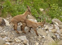 One young alpine ibex skipping on the other Royalty Free Stock Photo