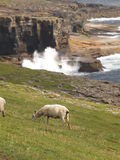 View of Orkney 1. Coast of Westray Island with sheep and clif, Orkney, Scotland stock images