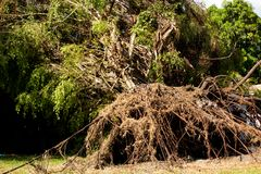 Out rooter tree due to Hurricane Irma royalty free stock images