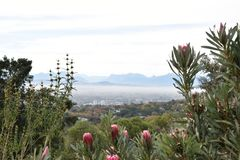 View over Cape Town from the Botanical Garden with many pink King Proteas in front in South Africa stock image