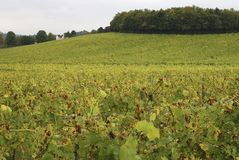 Vineyard at Dorking. Surrey. England Stock Photography