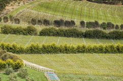 View over grape vines at a vineyard. On the east coast of Tasmania, Australia Royalty Free Stock Images