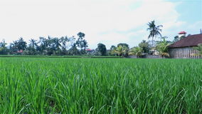 View over green rice fields with a hut and palm trees in the background stock footage