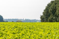 View over a green vegetable field Royalty Free Stock Photography
