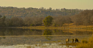View over lake with warthogs at Ranthambore National Park. View over the lake towards the fort at Ranthambore National Park in the region of Rajasthan in royalty free stock photography