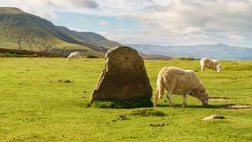 Landscape near Hay Bluff, Wales, UK. View over the landscape of the Brecon Beacons National Park with a sheep near the Stone circle and Twmpa, seen from Hay Royalty Free Stock Photo