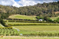 View over large vineyard and olive plantation. On the east coast of Tasmania, Australia Stock Images