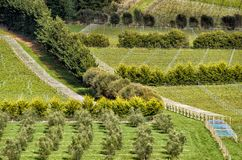 View over large vineyard and olive plantation Stock Images