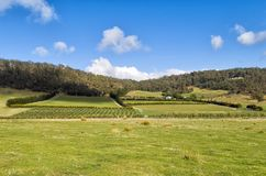 View over large vineyard and olive plantation. On the east coast of Tasmania, Australia Stock Photos