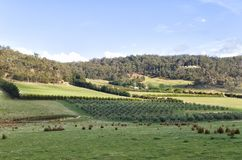 View over an olive plantation. On the east coast of Tasmania, Australia Stock Photo