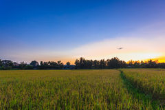 View over paddy field plantation and sunset Royalty Free Stock Photo