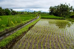 View over rice field on Bali, Indonesia.  stock photo