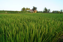 View over rice paddies Stock Photography