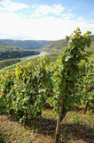 View over vineyards at Moselle river Rhineland-Palatinate in Ge Stock Photo