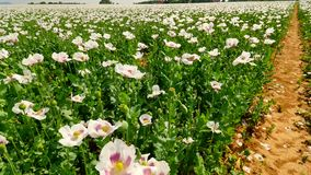 View over white poppy field with some waterless places. Blossom of poppies and green poppy heads moving in gentle wind, stock footage