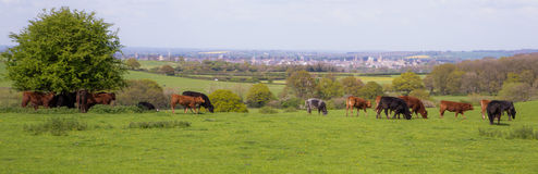 View of Oxford City from the country, with some cows. A panoramic view of the City of Oxford, including the rooftops of several of the University Colleges. Taken Stock Photo