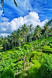 View of Paddy Field Royalty Free Stock Images