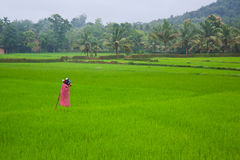 A view of paddy fled Royalty Free Stock Photography