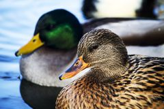 Male and female mallard ducks. View of a pair of male and female Mallard wild ducks swimming on a pool Stock Photography