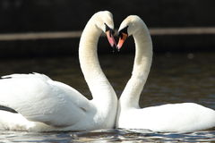 Mute swans. Stock Images