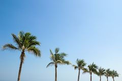Palm trees on a background of a blue sky. Royalty Free Stock Image
