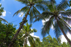 View of the palm trees from the bottom. Royalty Free Stock Photography