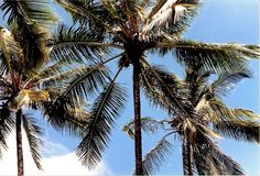 View of Palm Trees from the Ground Royalty Free Stock Images