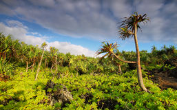 View of palm trees lush vegetation in Waianapanapa State park. Maui island, Hawaii, USA Royalty Free Stock Images