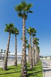 View of the palm trees in Sochi Royalty Free Stock Photos