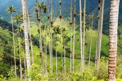 View through Palm Trees. View through wax palm trees in Cocora Valley near Salento, Colombia stock images